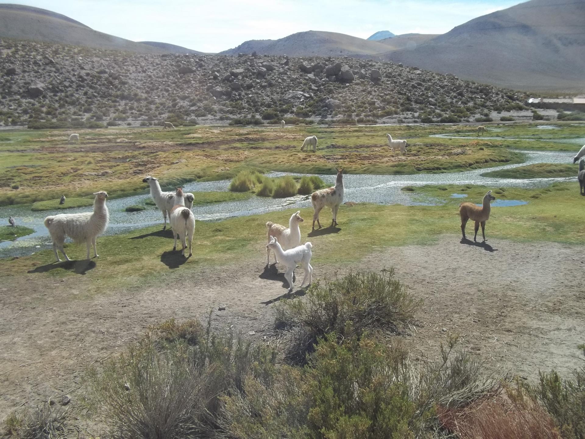 Tiere in San Pedro de Atacama, Chile