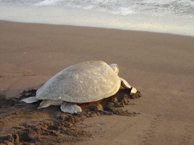 Schildkröte in Tortuguero, Costa Rica