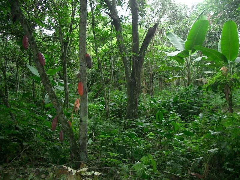 Kakaoplantagein Ecuador