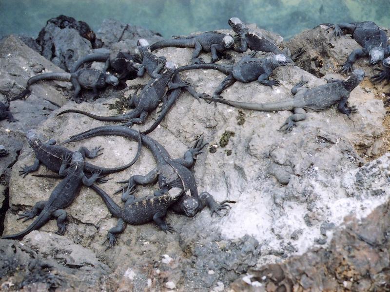 Meerechsen in Ecuador